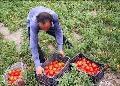 سبد گوجه فرنگی