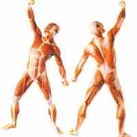 عضلات انسان
