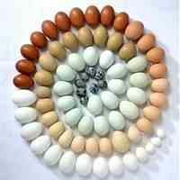 فروش تخم اردک و بلدرچین