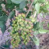 کود مخصوص درختان پسته ارگانیک و ضمانتی