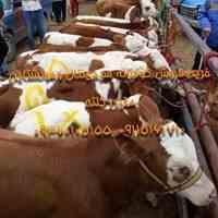فروش گوساله از گاوداری صنعتی