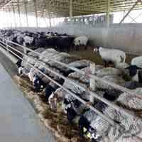 فروش گوسفند زنده_دامداری تک دام