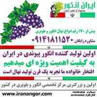 خرید و فروش نهال انگور
