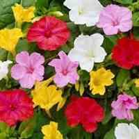 بذر گل- دانه گل- تخم گل-بذر گیاهان زینتی- بذر گل F1