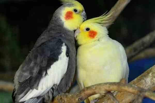 فروش انواع پرندگان زینتی و طوطی سانان