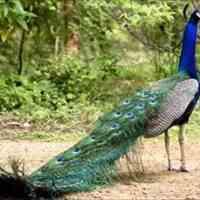 فروش تخم نطفه دار طاووس هندی سبز