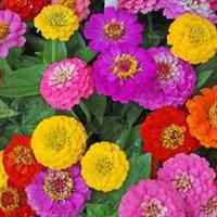 بذر گل ایرانی و خارجی