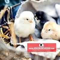 جوجه 1 روزه مرغ گلپایگان09129597807