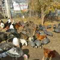 مزرعه پرورشگاهی تخم نطفه دار در انواع نژادها