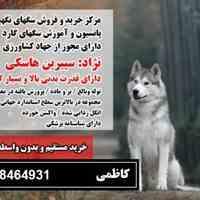 فروش هاسکی اصیل 09108464931
