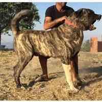 فروش سگ کانگال اصیل و وارداتی با کیفیت عالی