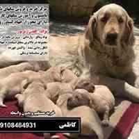 سگ گلدن رتریور اصیل توله و بالغ09108464931