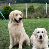 سگ نگهبان و محافظ رتریور