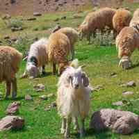 گوسفند زنده عقیل