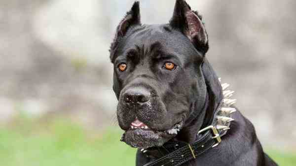 فروش سگ کن کورسو واکسن خورده