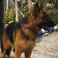 فروش سگ ژرمن شپرد در تهران و کرج(توله و بالغ)