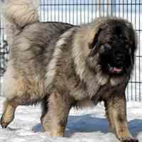 سگ قفقازی درجه یک و عضلانی