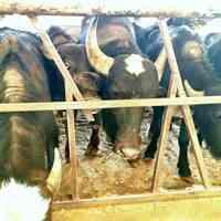 فروش گوساله گاومیش و تلیسه آبستن گاومیش