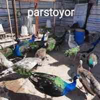 تخم نطفه دار طاووس