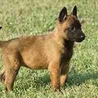 فروش ویژه توله سگ مالینویز و سگ بالغ آموزش دیده
