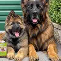 سگ(ژرمن شپرد) معروف و هوشمند
